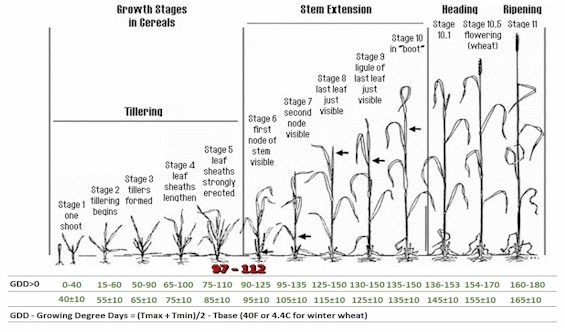 Feekes Growth Stages, and GDD