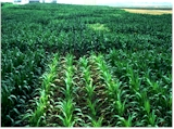 By row differences in monoculture corn