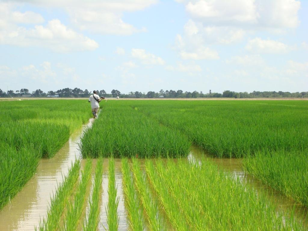 Rice under Flooded Conditions
